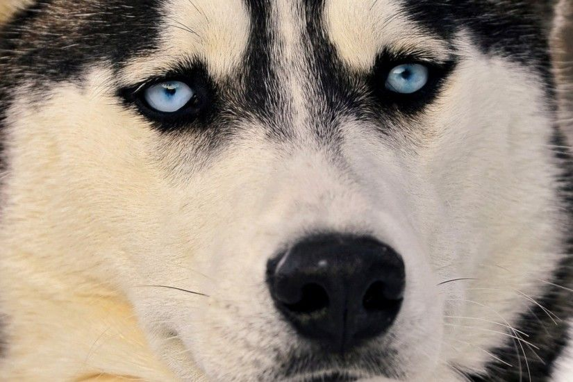 Preview wallpaper husky, dog, face, blue eyes, eyes 2048x2048