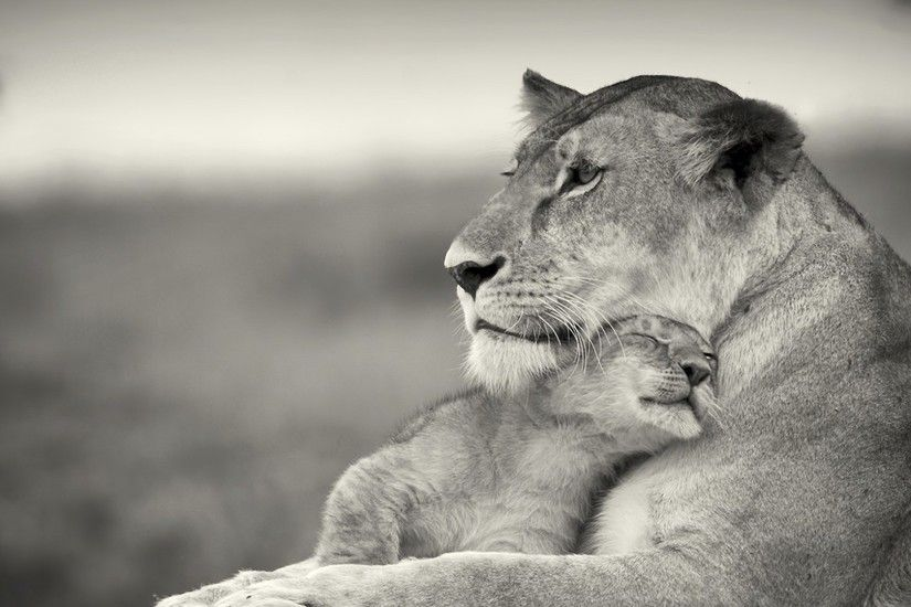 1920x1080 Wallpaper lioness, lion, white, animal, family