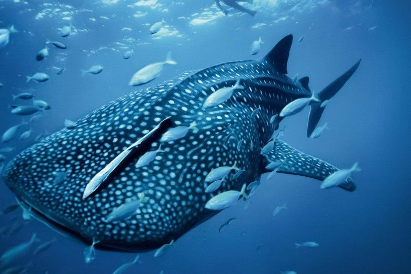 Desktop Whale Shark Wallpapes.