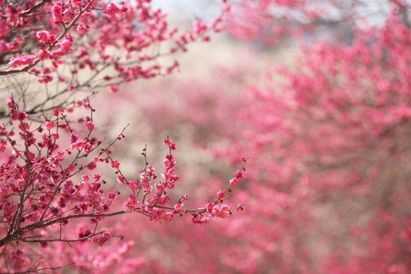 Photo Spring Cherry Flowers Nature
