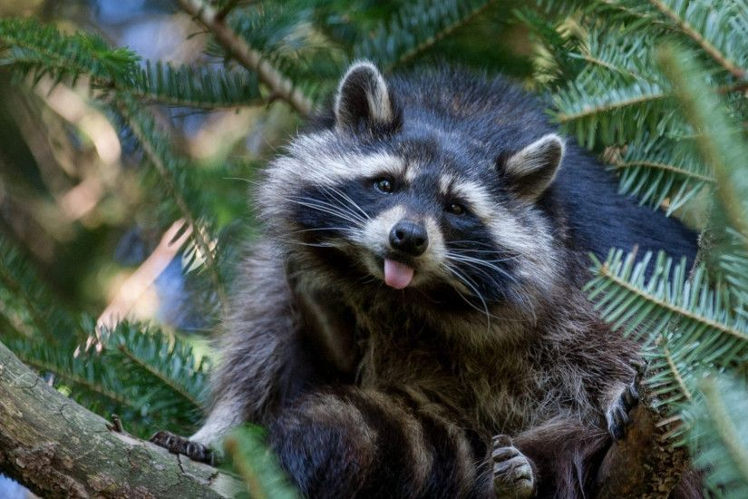 1920x1080 Wallpaper raccoon, tree, nature