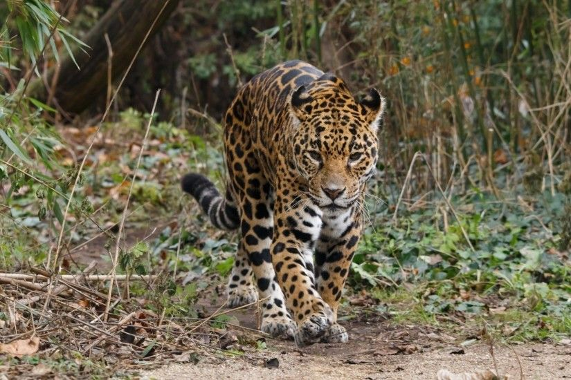Cats - Wildcat Jaguar Cat Tattoo Photos for HD 16:9 High Definition 1080p  900p