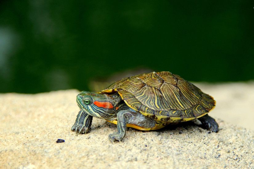 ... cute turtle pictures | Turtles Wallpapers and Turtles Backgrounds .