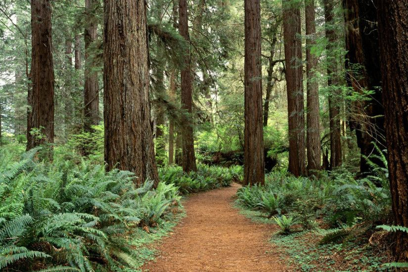 Redwood Forest Wallpaper - Viewing Gallery