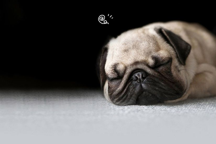1920x1200 cute pug puppies wallpaper