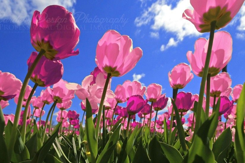 Pink Tulips Wallpapers - HD Wallpapers Inn