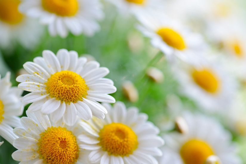 Daisy Flower Cute Wallpaper Wallpaper