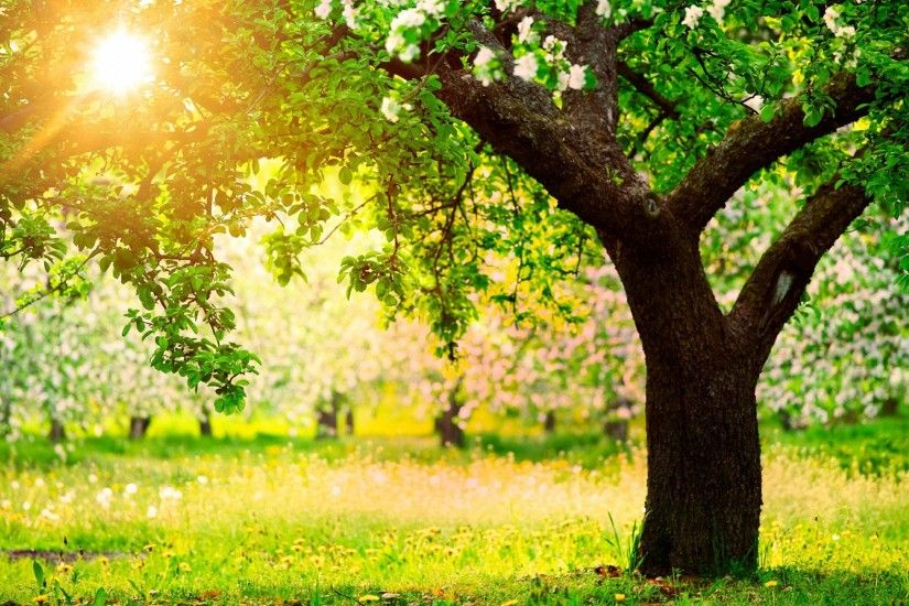 nature tree spring garden HD wallpapers