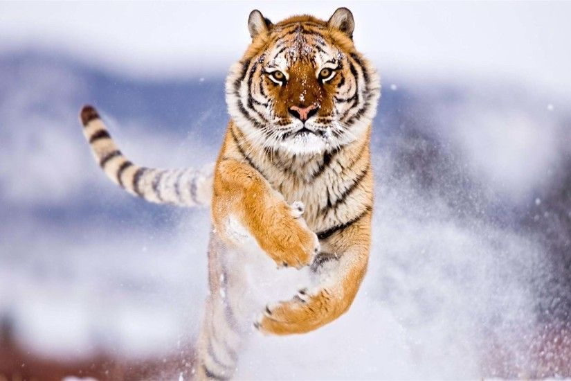 d Animated Tiger Wallpapers d wallpaper HD