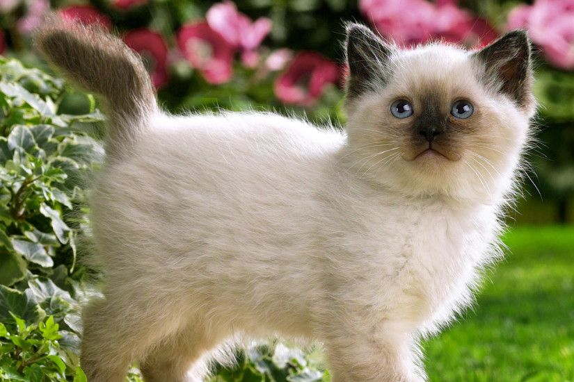 Wallpapers For > Cute Siamese Kittens Wallpaper