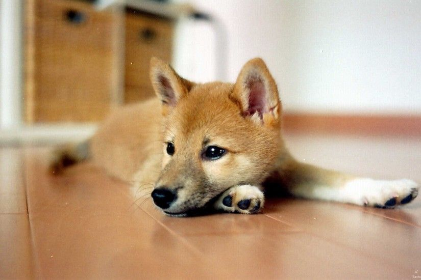 Pictures Of Shiba Inu