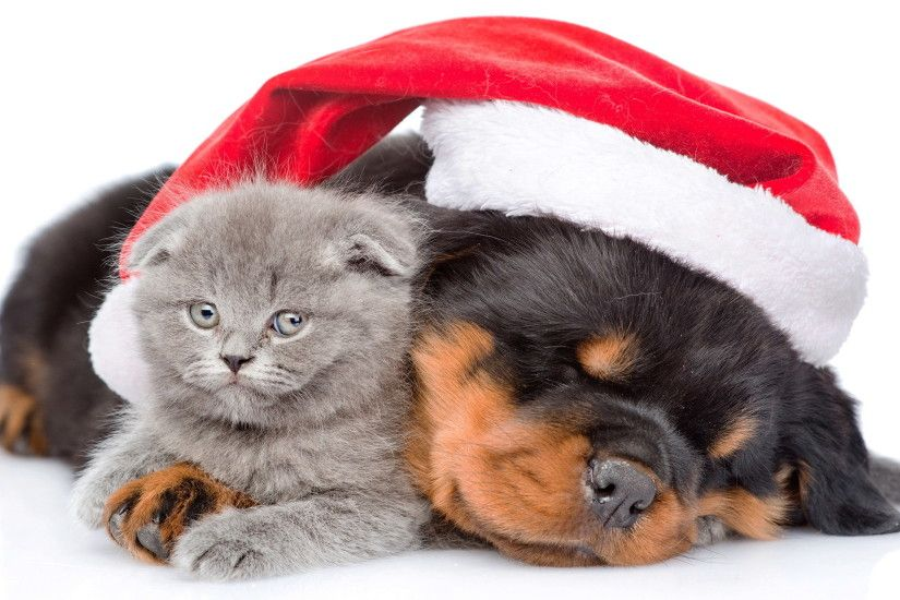 2350x1469 animal cat dog holiday christmas puppy kitten cute santa hat  wallpaper - Christmas Puppies Kittens