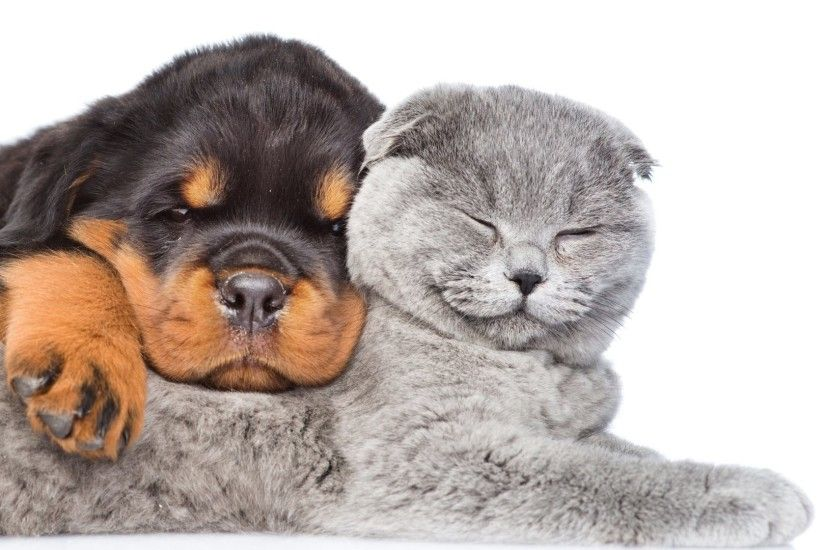 Sleep Tag - Puppy Two Cat Kitten White Dog Rottweiler Sleep Baby Animal  Desktop Image for