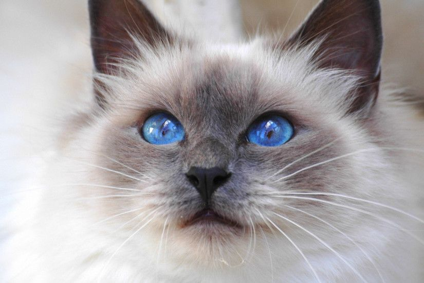 Captivating Siamese Cat With Mesmerizing Siamese Cats With Blue Eyes
