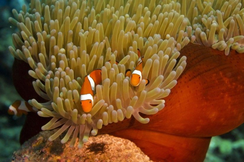 Clownfish Drawing · clownfish anemone nemo wallpaper