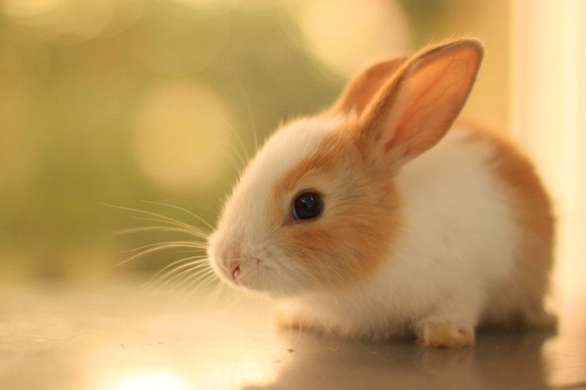 Bunny Wallpaper High Definition