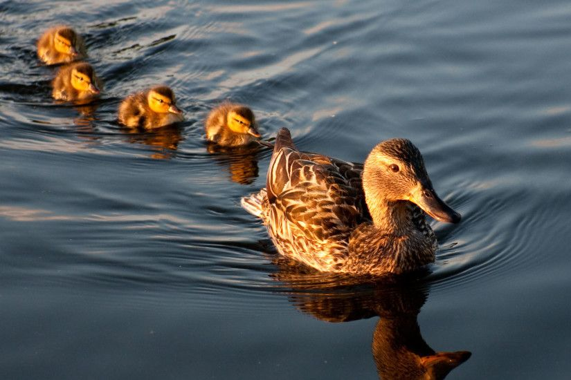 Mallard Family Ducks / HD iPad Wallpapers