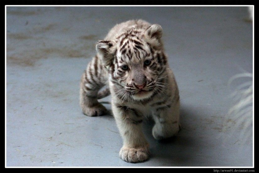 Images For > Baby White Tigers Wallpaper
