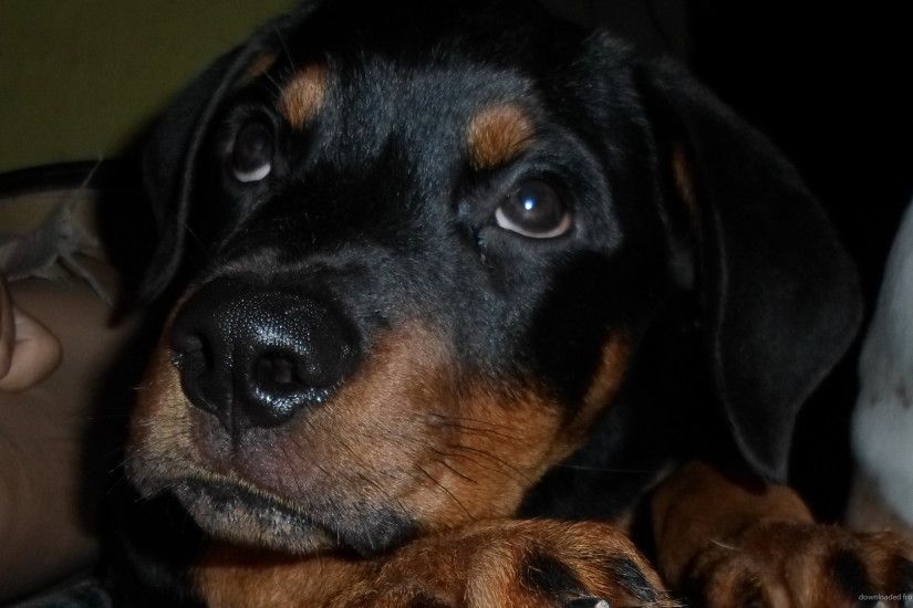 HD Rottweiler Pup wallpaper