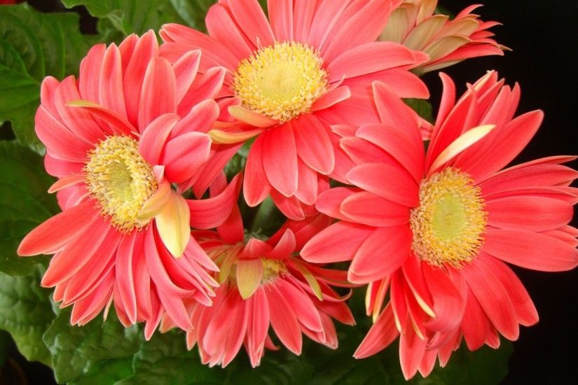 1920x1440 Gerbera Daisy Wallpapers Group