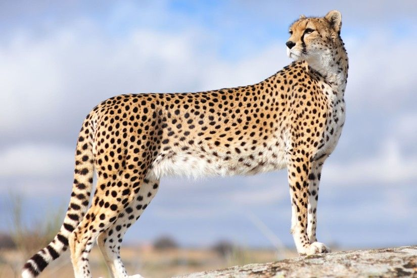 Cheetah animals Photos Gallery
