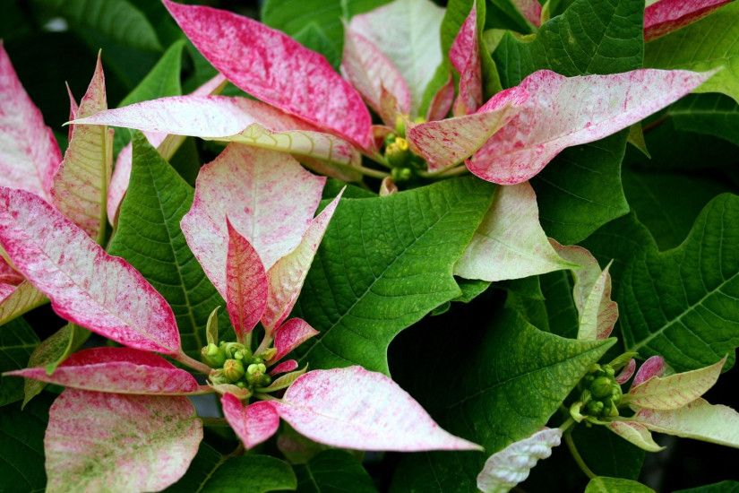 Download wallpaper poinsettia flower pink leaves
