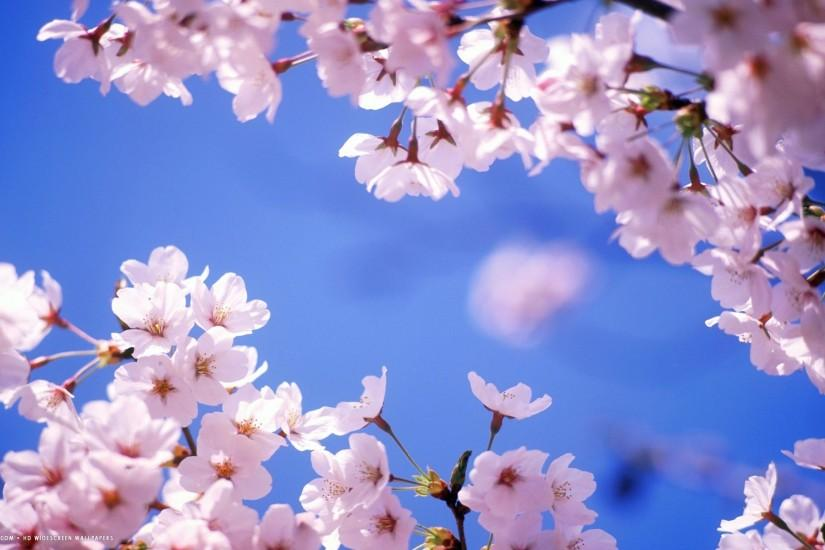cherry blossom wallpaper 1920x1200 for android tablet