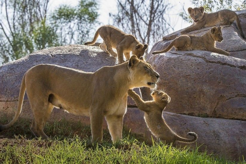 Lioness playing with its cubs wallpaper