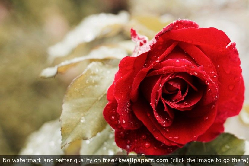Beautiful Red Rose 4K HD wallpaper