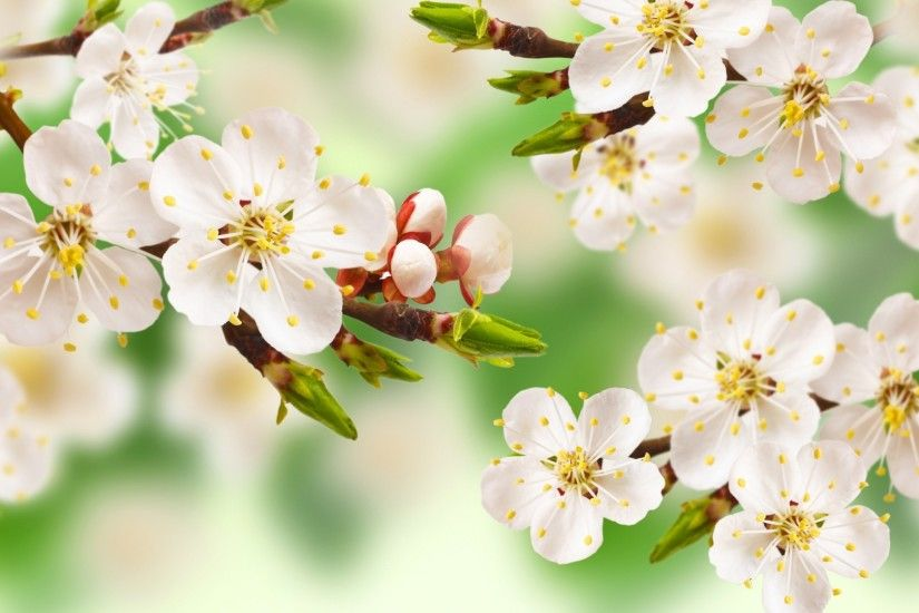 ... Spring flowers apple blossom blossoms wallpaper | 1920x1200 .