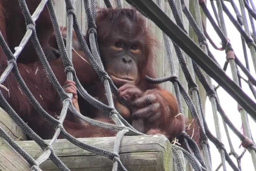 Twycross Zoo has a new baby orangutan - and he is SO CUTE - Nottingham Post