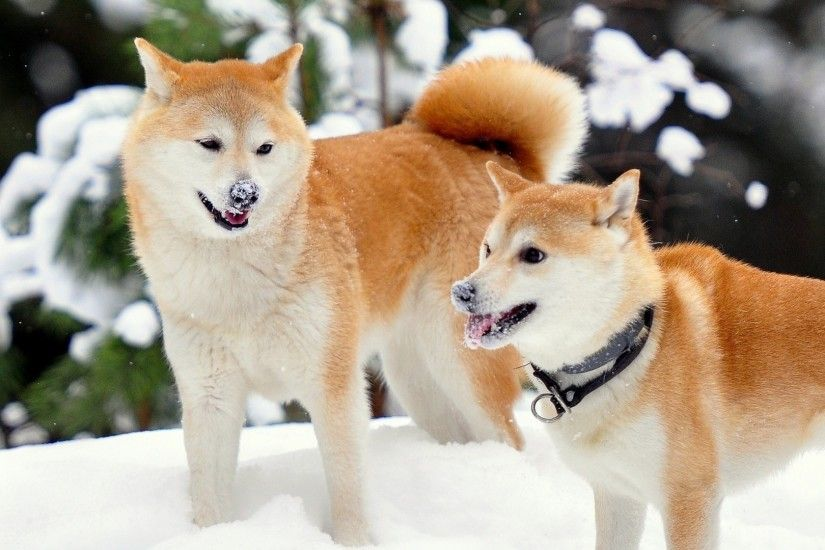 2560x1080 Wallpaper akita inu, dog, snow, playful