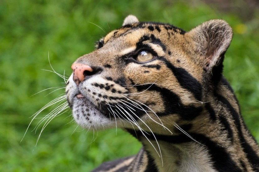 clouded leopard view predator face cat