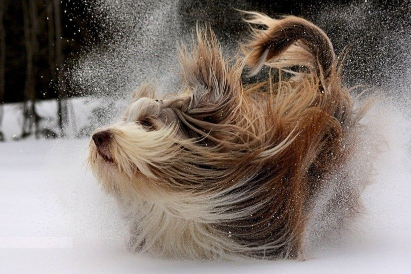 Wallpaper Dog, Yorkshire terrier, Snow, Play