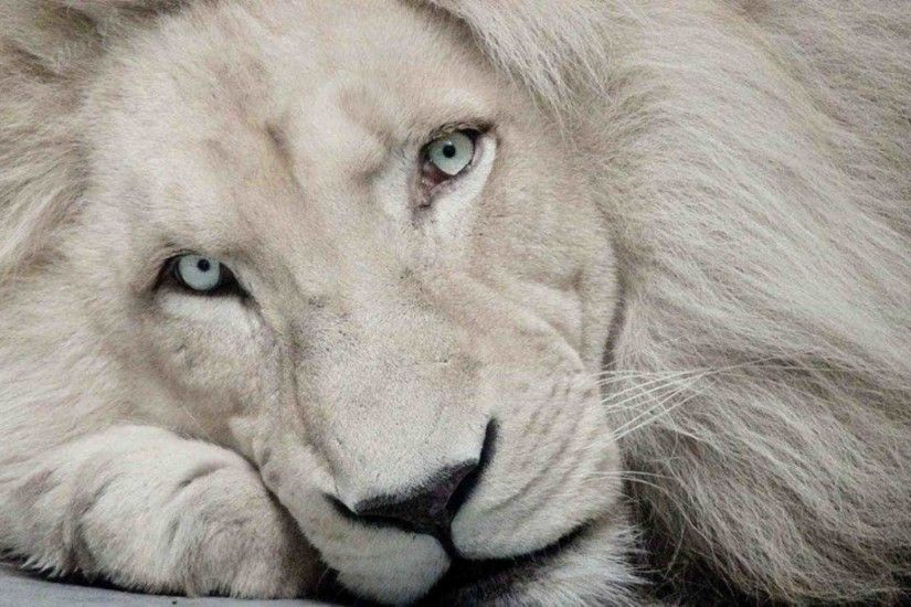 White Lion Wallpapers
