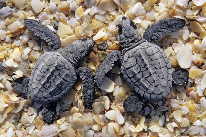 Sea turtles on shells and pebbles wallpaper