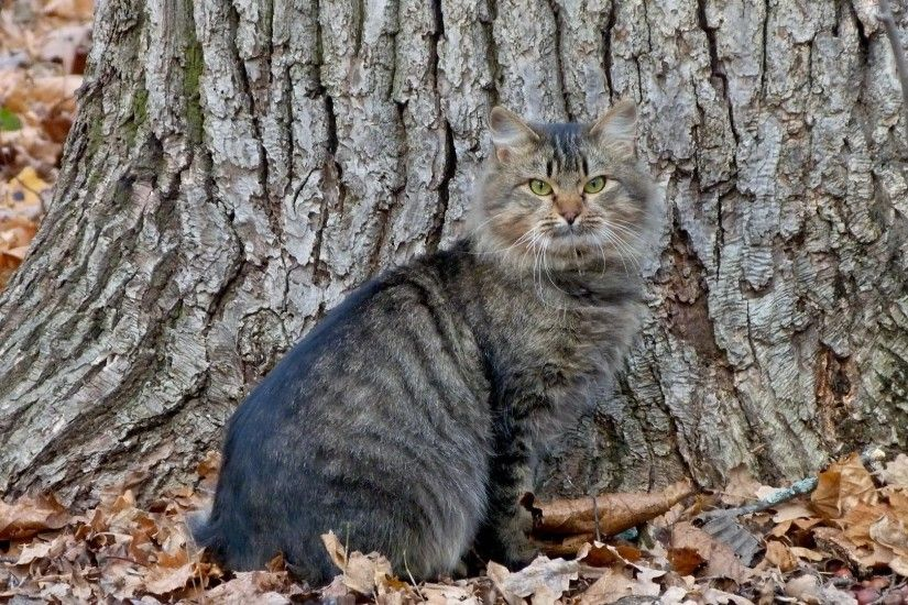 Wildcat standing on autumn leaves wallpaper