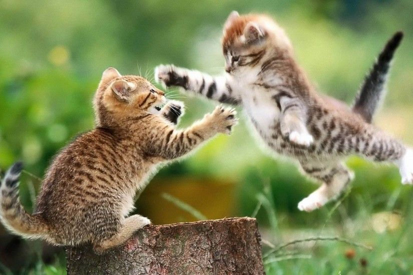 Cute Funny Kitten Playing and Fighting ❤ Cute Sumo Kittens ▻ Kitten Lovers