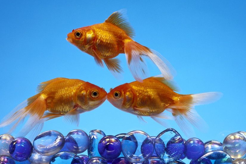 Pictures Fish Gold color Three 3 Animals Colored background 2048x1152