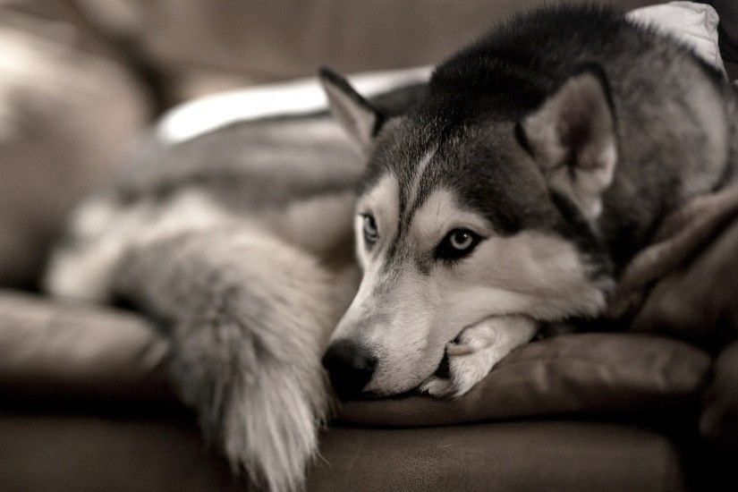 1920x1080 Wallpaper dog, husky, sofa