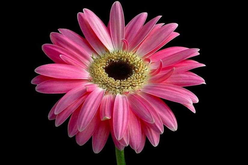 Wallpapers Backgrounds - Beautiful Pink Daisy 1920x1080 1080p Wallpapers  Flowers