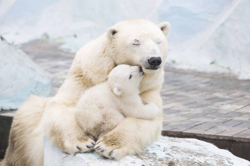 Animals / Polar bears Wallpaper