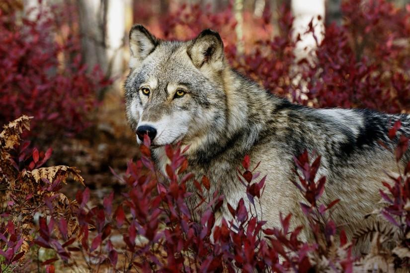 Gray Wolf Wallpapers | HD Wallpapers