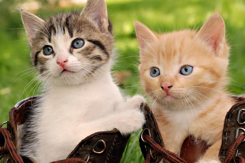 Double Cat Wallpaper HD Wallpapers, Backgrounds, Images, Art Photos.