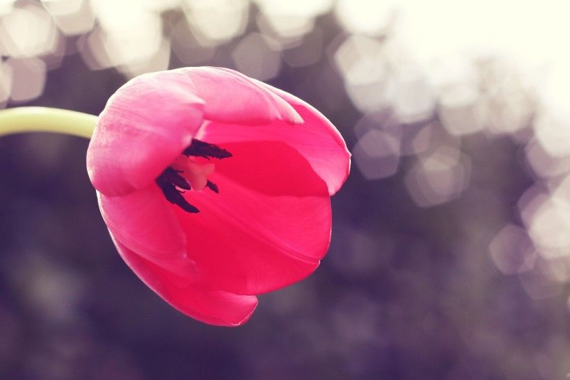 Pink tulip wallpaper