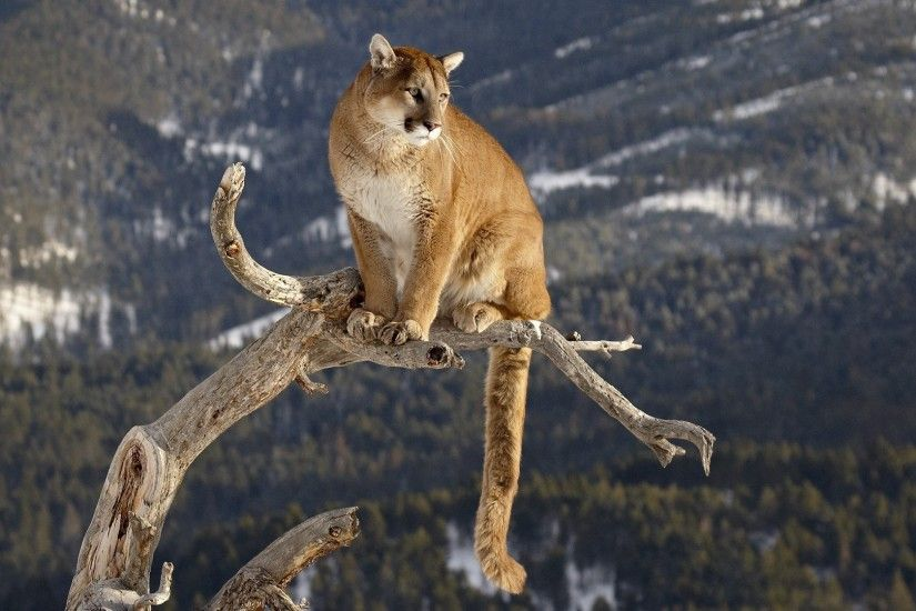 nature, Animals, Pumas Wallpapers HD / Desktop and Mobile .