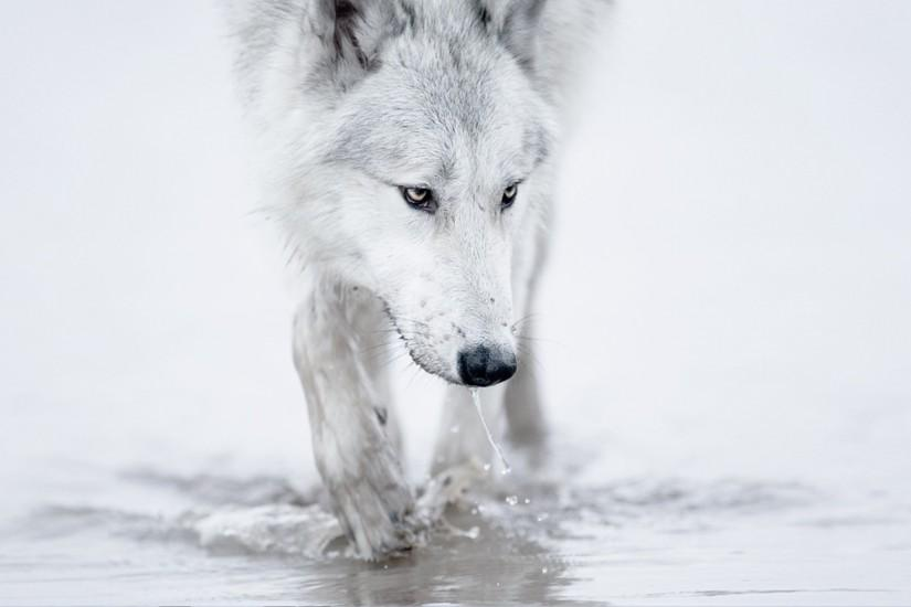 Wolf wallpaper - Wolf - Wolves wallpaper hd - Wolf wall paper .