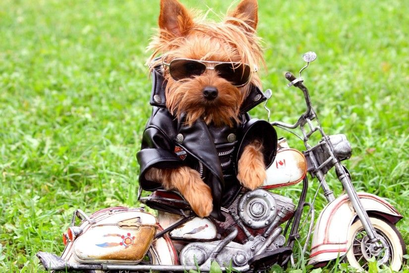 3840x2160 Wallpaper dog, biker, jackets, leather jackets, grass, yorkshire  terrier