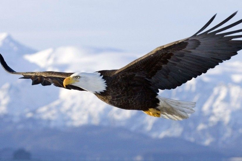 Bald Eagle Widescreen Wallpaper | warnerboutique