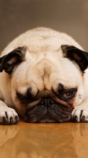 iPhone 6 plus Bored-pug Wallpapers
